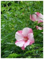 More Hibiscuses by eosthilas