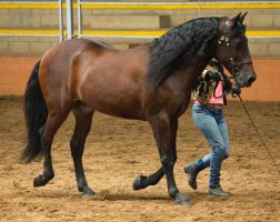 STOCK - 2014 Andalusian Nationals-73 by fillyrox