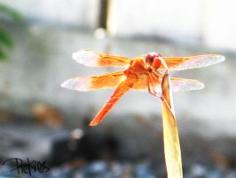 Orange Dragonfly by picklenation