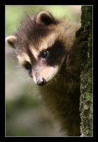 Baby Racoon by claywiltonimages