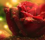 The Rose One by Callu