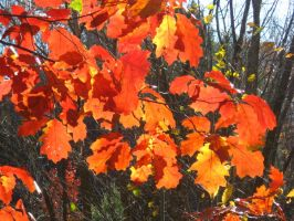 blazing oak by crazygardener
