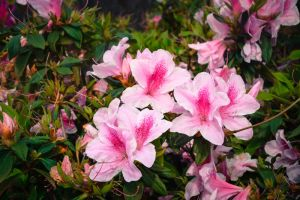 Higashi Village Azalea Festival - Flowers 1 by Natures-Studio