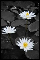 White Lotus by ragilz666