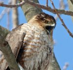 Cooper's Hawk hard crop by arcadian7