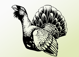 Western Capercaillie by ImaginaryKarin