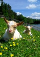 Goats I by Tienna