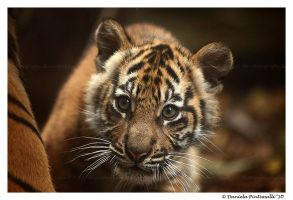 Baby Tiger: Wonder II by TVD-Photography