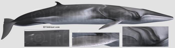 The real Omura's whale by namu-the-orca