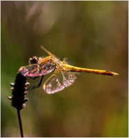M1824 - Dragonfly of fire. by Lothringen