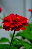 Red zinnia by deviantlamb