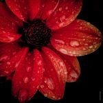 Dahlia by tholang