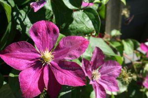 Clematis Flower by MaiaQQ