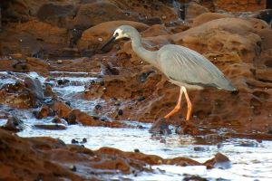 Heron goes to the beach 1 by wildplaces