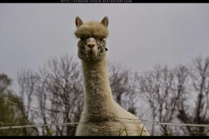 llama- streamy stock by streamy-stock