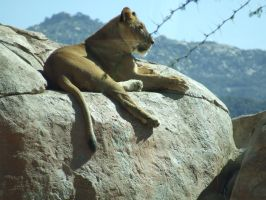 Lioness on Rock 2 by dtf-stock