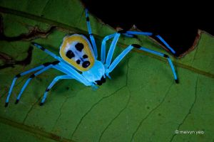 Platythomisus sp. under UV light by melvynyeo