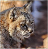 Bobcat Profile 5 by SilkenWinds