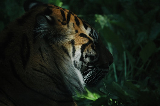 Lonely Tiger by TheOne85Ca