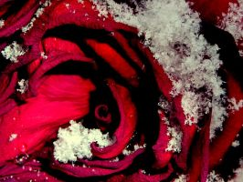 frozen rose by fading--flower