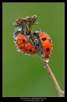 Coccinella septempunctata by SelvaggioRocker