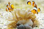 + Clownfish + by JoJoAsakura