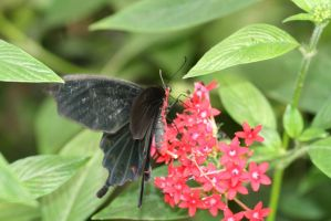 red and black butterfly 3 by Gothic-Enchantress