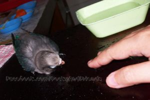 Watch the video! Introducing bath to baby bird. by emmil
