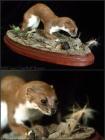 Taxidermy - Weasel by Illahie