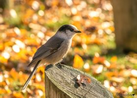 Autumn Gray Jay by gigi50