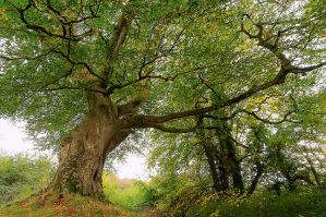 Belvoir Tree, October 2009 II by Gerard1972