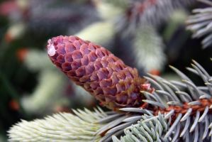 Fir cone by FroZnShiva