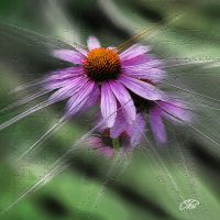 ECHINACEA 1. by BELLESYMPHORINE