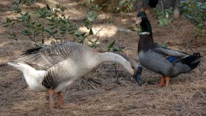Duck and Goose 01 by Pairastocks
