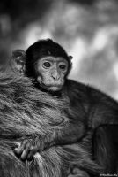 Baby Barbary Macaque by NachoRomero