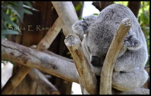 Koala: Nap Time by SofiaERamirez