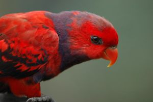 Red Parrot by wiltz