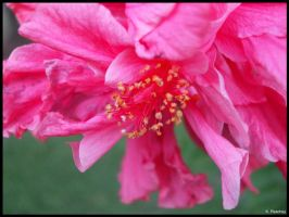 Pink Flower by p858snake