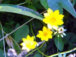 yellow flowers by MOGGGET