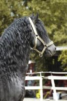 Friesian stallion by SteflynPhotography