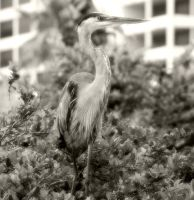 Black and White Blue Heron by lynjupiter