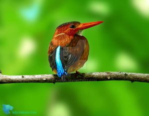 sulavessky forest kingfisher by byDjo