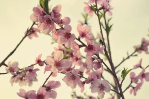 .:Peach blossoms:. by bogdanici