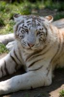 6010 - White tiger cub by Jay-Co