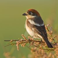 The crack of Dawn - Woodchat Shrike by Jamie-MacArthur
