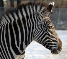 Zebra by sgt-slaughter