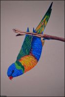 Rainbow Lory by Verenique