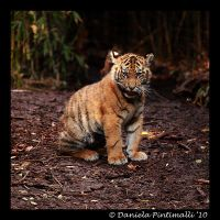 Baby Tiger Portrait IV by TVD-Photography