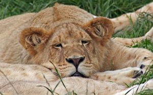 Lion Cubs 1 by carterr