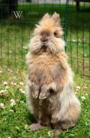 Vilgott the Lionhead bunny by felill
